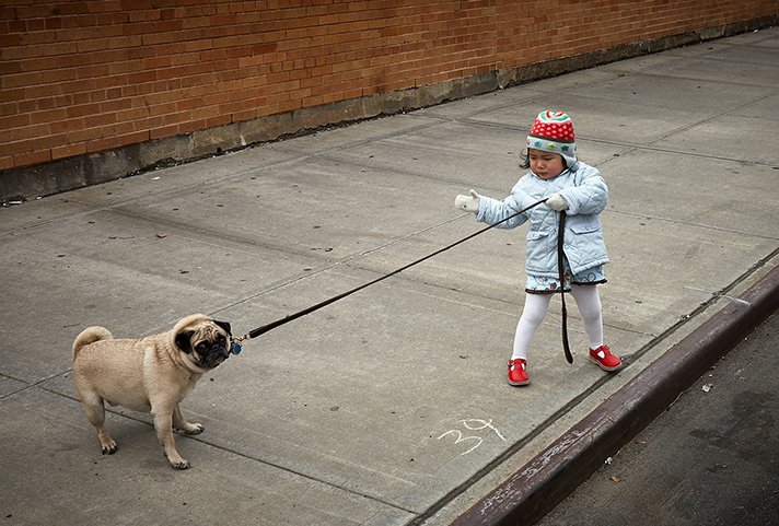Child pulling pug on a leash.
